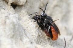 sphecodes-albilabris-g-c-2
