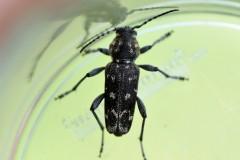 093-Xylotrechus-rusticus