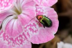 Crepidodera-aurata-1-g