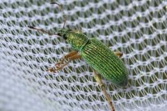 coleopt-vert-12-2
