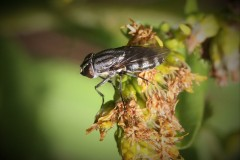 Stomorhina-lunata-2-g-c