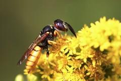 101-philanthe-apivore