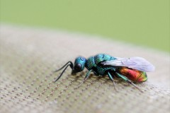 chrysidae-11-g-c-2
