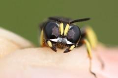 crabronidae-13-g-c