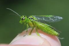 rhogogaster-viridis-11-2-g-c