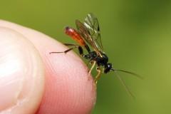 thryphoninae