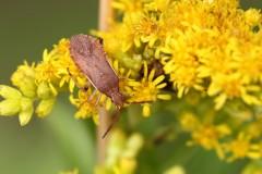 Ceraleptus-lividus-11-g