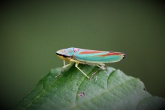 cicadelle-du-rhodo-1-g-3