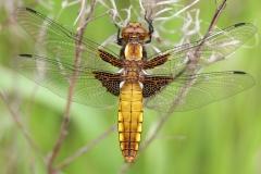 052-libellule-deprimee-femelle-cal-c