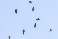 pigeon-colombin-g-c