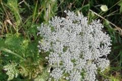 carotte-bdb
