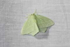 085-Hemistola-chrysoprasaria-2