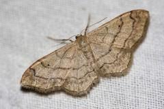 Idaea-aversata-2-gimp-2